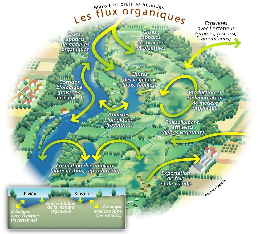 Zones humides - fonctions écologiques